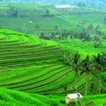 Jatiluwih Bali – Pesona Alam Pedesaan Nan Asri